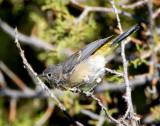 Warbler Virginias D-004.jpg