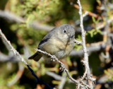 Warbler Virginias D-003.jpg