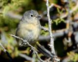 Warbler Virginias D-002.jpg