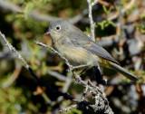 Warbler Virginias D-001.jpg