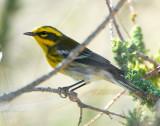 Warbler TownsendsD-004.jpg