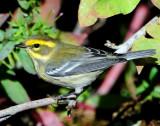 Warbler TownsendsD-013 Juvenile.jpg