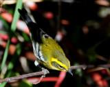 Warbler TownsendsD-010 Juvenile.jpg