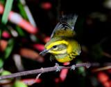 Warbler TownsendsD-005 Juvenile.jpg