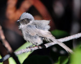 Bushtit, Black-eared (P.m.plumbeus) male