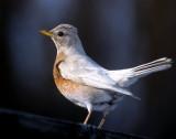 Robin, American (Leucistic)