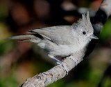 Titmouse Juniper D-031.jpg