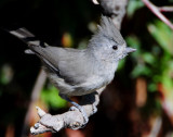 Titmouse Juniper D-032.jpg