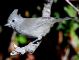 Titmouse Juniper D-033.jpg