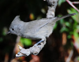 Titmouse Juniper D-034.jpg