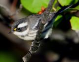 Warbler Black-throated Grey D-025.jpg