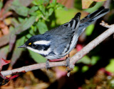 Warbler Black-throated Grey D-026.jpg