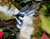 Warbler Black-throated Grey D-031.jpg