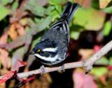 Warbler Black-throated Grey D-027.jpg
