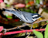 Warbler Black-throated Grey D-028.jpg
