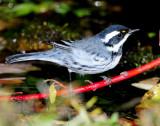 Warbler Black-throated Grey D-030.jpg