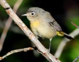 Warbler Virginias D-015.jpg
