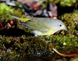 Warbler Virginias D-016.jpg