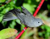 Warbler Virginias D-017.jpg