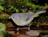 Warbler Virginias D-018.jpg