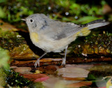 Warbler Virginias D-019.jpg