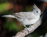 Titmouse Juniper D-040.jpg