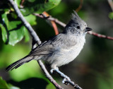 Titmouse Juniper D-041.jpg