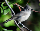 Titmouse Juniper D-042.jpg