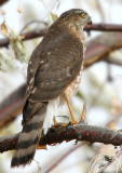 Hawk Sharp-shinned D-003.jpg
