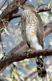 Hawk Sharp-shinned D-011.jpg