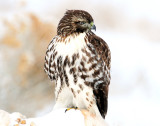 Hawk Red-tailed D-048.jpg