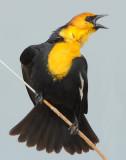Blackbird Yellow-headedD-015.jpg