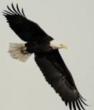 Eagle  Bald D-051.jpg