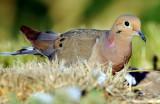Dove Mourning D-001.jpg