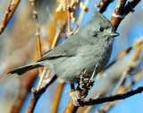 Titmouse  Juniper D-054.jpg
