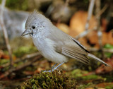 Titmouse  Juniper D-045.jpg