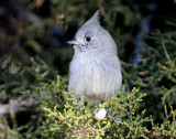 Titmouse  Juniper D-051.jpg