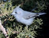 Titmouse  Juniper D-052.jpg