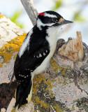 Woodpecker, Downy