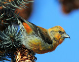 Crossbill  Red D-011.jpg