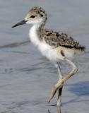 Stilt, Black-necked