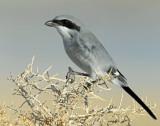 Shrike, Loggerhead 11/22/09
