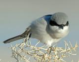 Shrike, Loggerhead
