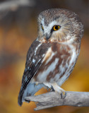 Owl, Northern Saw-whet