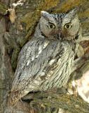 Owl Western Screech D-009.jpg