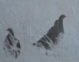 Foggy Gray Partridge