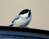 Chickadee, Black-capped Jan. 10, 2010