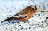 Rosy-Finch Gray-crowned D-016.jpg
