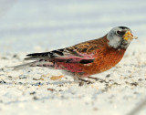 Rosy-Finches, Gray-crowned