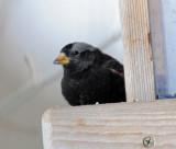 Rosy-Finch Black D-001.jpg